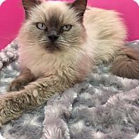 Himalayan Cat for adoption in Pasadena, Texas - Cachet