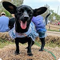 Adopt A Pet :: Sammie - S. Pasedena, FL