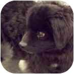 Tibetan Spaniel Mix Dog for adoption in Chesapeake, Virginia - MAX