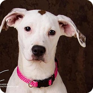 American Bulldog/Boxer Mix Puppy for adoption in Prole, Iowa - Isis