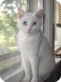 Domestic Shorthair Cat for adoption in Bedford, Virginia - Bonnie