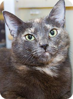 Domestic Shorthair Cat for adoption in Irvine, California - Tessa