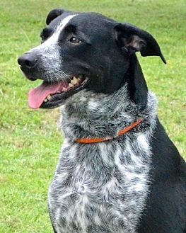 Border Collie Dog for adoption in Sebastian, Florida - Riley