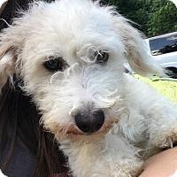 Adopt A Pet :: Snickers - Tumwater, WA