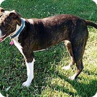American Pit Bull Terrier Mix Puppy for adoption in Macomb, Illinois - Annie