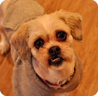 Shih Tzu Mix Dog for adoption in New York, New York - Lola Bell!