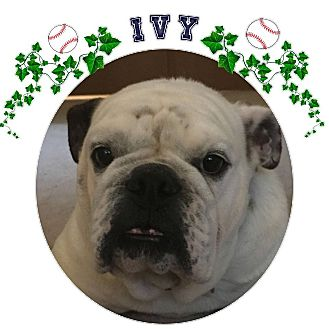 English Bulldog Dog for adoption in Park Ridge, Illinois - Ivy