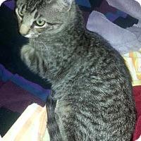 Adopt A Pet :: Tabbi - Dallas, TX