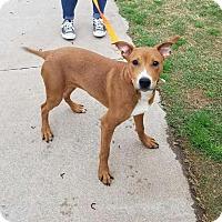 Adopt A Pet :: Hamar - Stillwater, OK