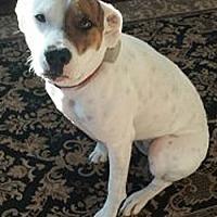 Adopt A Pet :: Stella *New Jersey - Fulton, MO