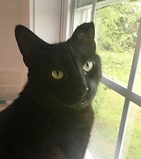 Domestic Shorthair Cat for adoption in Stevensville, Maryland - Stormy