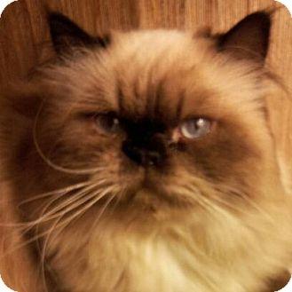 Himalayan Cat for adoption in Columbus, Ohio - Nestle