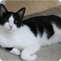 Adopt A Pet :: Domino - Naples, FL