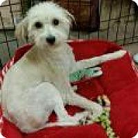 Adopt A Pet :: Bridget Jones - NON SHED - Phoenix, AZ