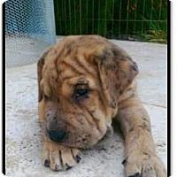 Adopt A Pet :: Schultz - Gilbert, AZ