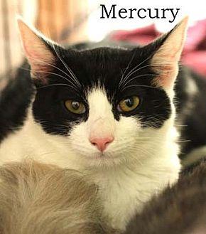 Domestic Shorthair Cat for adoption in Merrifield, Virginia - Mercury