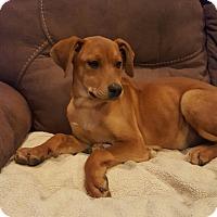 Adopt A Pet :: Laurie - Glastonbury, CT