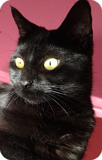 Domestic Shorthair Cat for adoption in Wayne, New Jersey - Willow