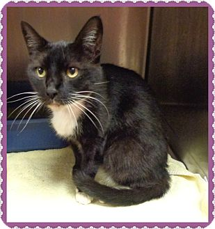 Domestic Shorthair Cat for adoption in Marietta, Georgia - CARLA
