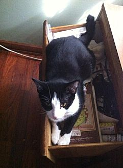 Domestic Mediumhair Cat for adoption in Jacksonville, Florida - Oreo