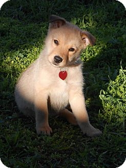 German Shepherd Dog/Labrador Retriever Mix Puppy for adoption in Torrance, California - WIGGLES