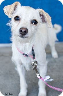 Terrier (Unknown Type, Small) Mix Puppy for adoption in Studio City, California - Snowflake