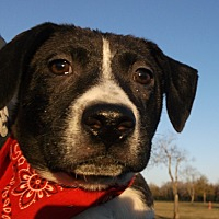 Adopt A Pet :: BRITTANY -Sweet pup-Watch vide - New Hartford, CT