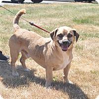 Adopt A Pet :: Gus - Tumwater, WA