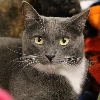 Domestic Shorthair Cat for adoption in Morgan Hill, California - Pepperoni