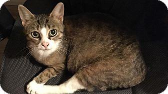 Domestic Shorthair Cat for adoption in Woodstock, Ontario - Onya
