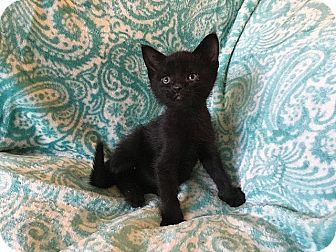 Domestic Shorthair Kitten for adoption in Tampa, Florida - Kerchak