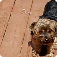 Adopt A Pet :: Puddin Adoption Pending - Matthews, NC