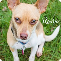 Rat Terrier Mix Dog for adoption in Newport, Kentucky - Reno