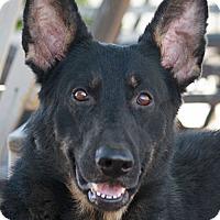 Adopt A Pet :: Nova von Nurnberg - Los Angeles, CA