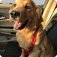 Adopt A Pet :: Sahara - Southington, CT