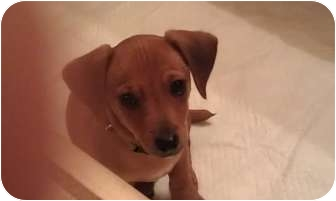 Dachshund/Terrier (Unknown Type, Small) Mix Puppy for adoption in Fresno, California - Stanley