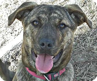 German Shepherd Dog/Mountain Cur Mix Puppy for adoption in Somers, Connecticut - Dori