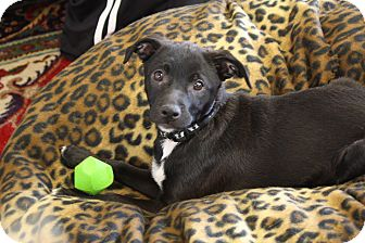 Labrador Retriever/Basenji Mix Puppy for adoption in Homewood, Alabama - Tucker