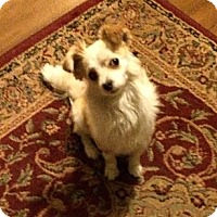 Adopt A Pet :: lilly - calimesa, CA