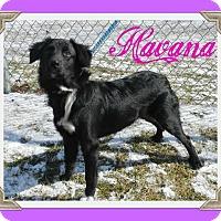 Adopt A Pet :: Havana - Toledo, OH