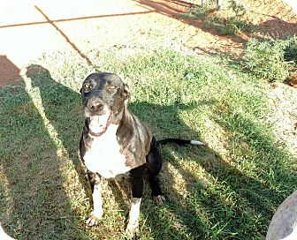 Great Dane/Greyhound Mix Dog for adoption in Denver City, Texas - Zane