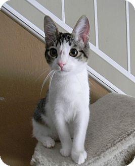 Domestic Shorthair Kitten for adoption in Houston, Texas - Bernie