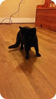 Domestic Shorthair Cat for adoption in Columbus, Ohio - Amadeus