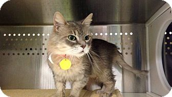 Domestic Shorthair Cat for adoption in THORNHILL, Ontario - Scruffy