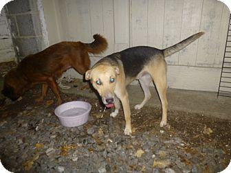 Shepherd (Unknown Type)/Labrador Retriever Mix Puppy for adoption in Glastonbury, Connecticut - Collier
