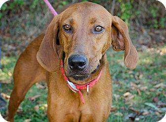 Redbone Coonhound/Hound (Unknown Type) Mix Dog for adoption in Bristol, Tennessee - Christy