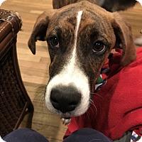 Adopt A Pet :: Belinda - Baltimore, MD