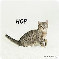 Adopt A Pet :: Hop - Troy, VA