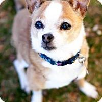 Adopt A Pet :: Bella Pretty Little Fox - Tucson, AZ