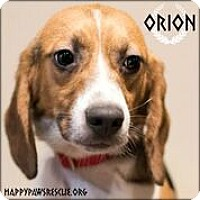 Beagle Dog for adoption in South Plainfield, New Jersey - Orion